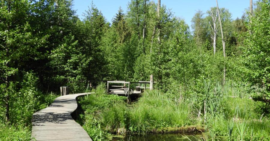 Rezerwat Krzemianka w Puszczy Knyszyńskiej - zdjęcie