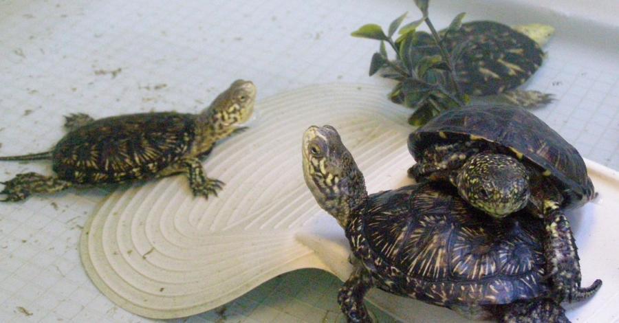 Ośrodek Ochrony Żółwia Błotnego w Urszulinie - zdjęcie
