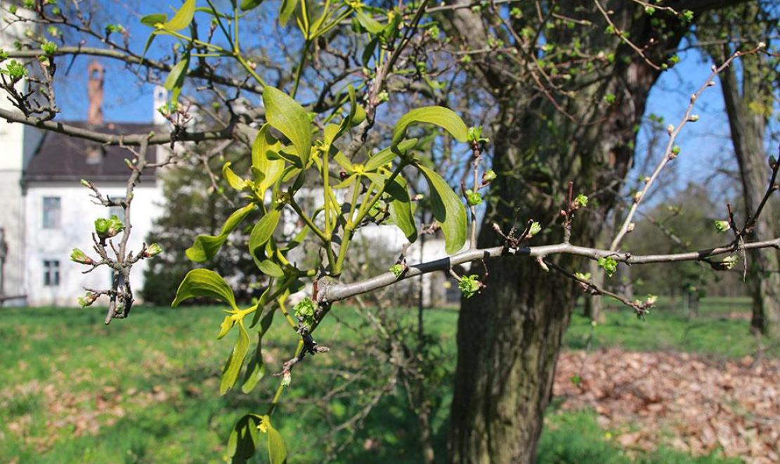Drzewo ożyło na wiosnę