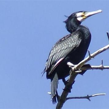 Tropem kormoranów - zdjęcie