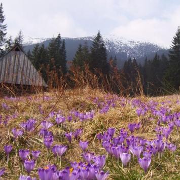 Krokusy w Dolinie Chochołowskiej. - zdjęcie