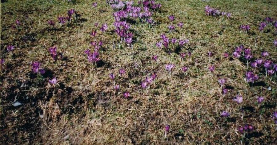 Wiosna w Dolinie Chochołowskiej - zdjęcie