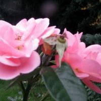 Rosarium w Chorzowie