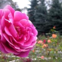 Rosarium w WPKiW w Chorzowie