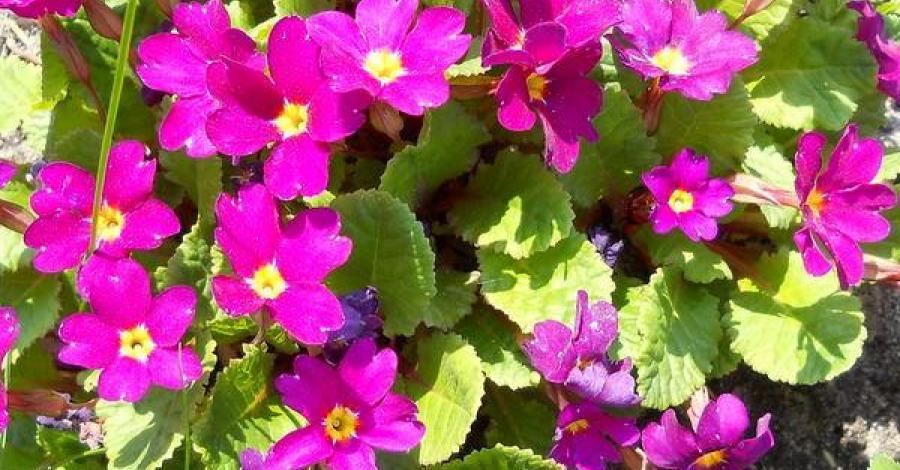 Prymulki ... kwiaty wiosny... - moje okolice - zdjęcie
