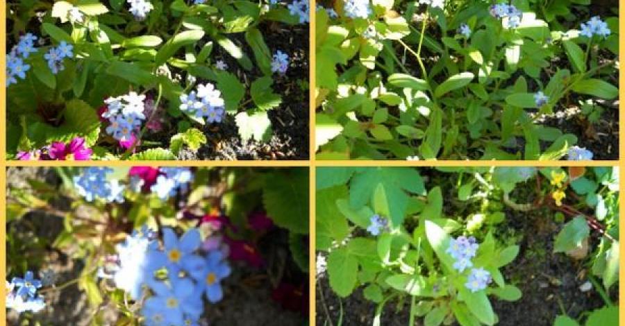 Stokrotki i Niezapominajki - majowe kwiatki ... - zdjęcie