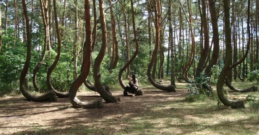 Krzywy Las w Gryfinie - zdjęcie