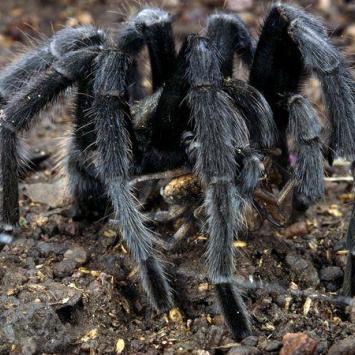 Gdańsk - wystawa owadów tropikalnych - tarantula