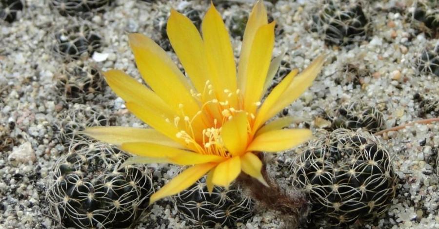 Kaktusiarnia w Rumi - zdjęcie