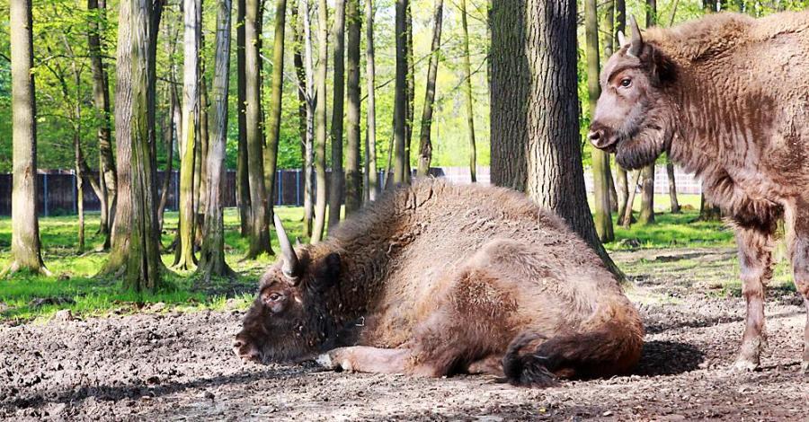 Zagroda Żubrów w Pszczynie - zdjęcie