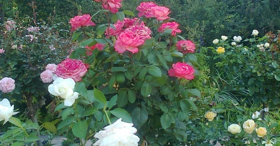 Forst- Ogród Różany