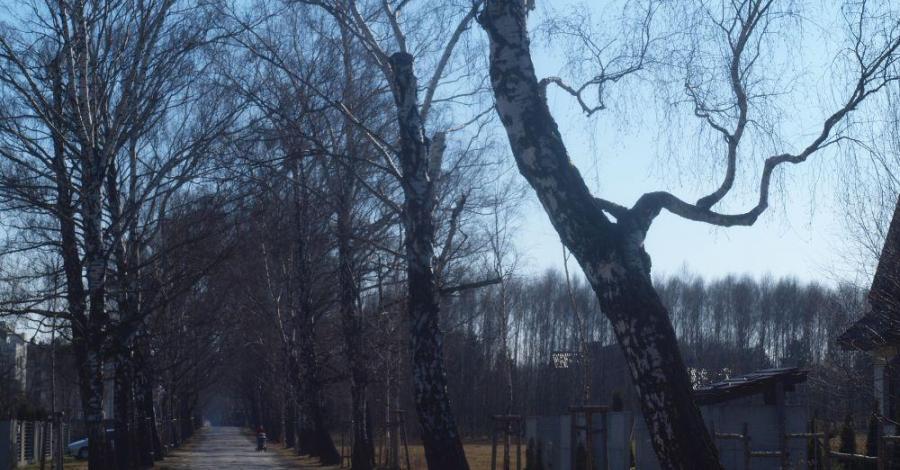Aleja brzozowa w Częstochowie - zdjęcie