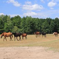 miejscowe konie