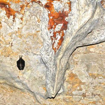 Jaskinia Wierzchowska Górna - nietoperz podkowiec mały
