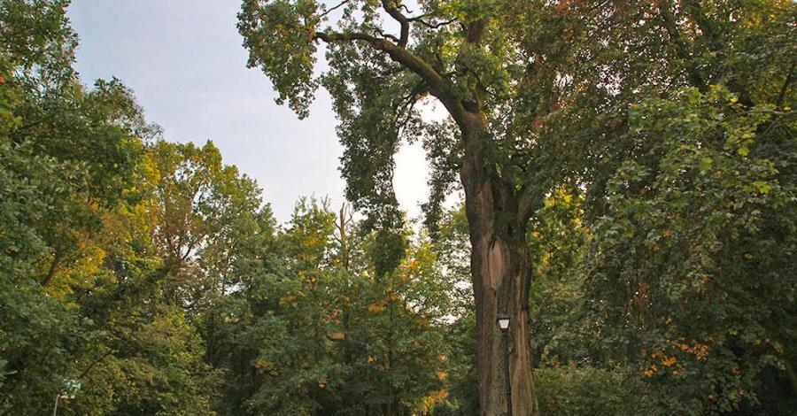 Dąb Cysters w Rudach - zdjęcie