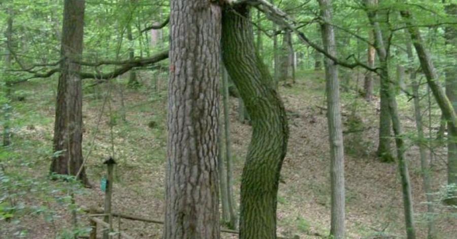 Pomnik przyrody Zakochana Para w Krutyniu - zdjęcie