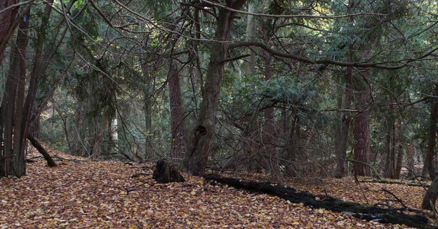 Rezerwat Cisy Staropolskie - zdjęcie