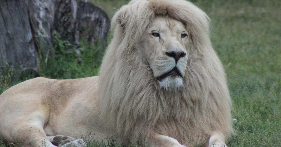Zoo Safari, linek