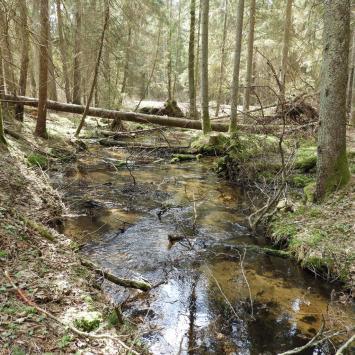 Puszcza Knyszyńska wiosną - okolice Rezerwatu Woronicza