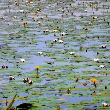 W dzikiej zieleni Polesia II DZIEŃ – poprzez kładki i mokradła: ścieżka przyrodnicza Spławy w PPN - zdjęcie
