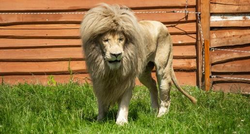 Wśród białych lwów i tygrysów - zdjęcie