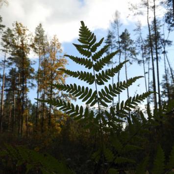 Puszcza Knyszyńska jesienią – okolice Rezerwatu Jałówka