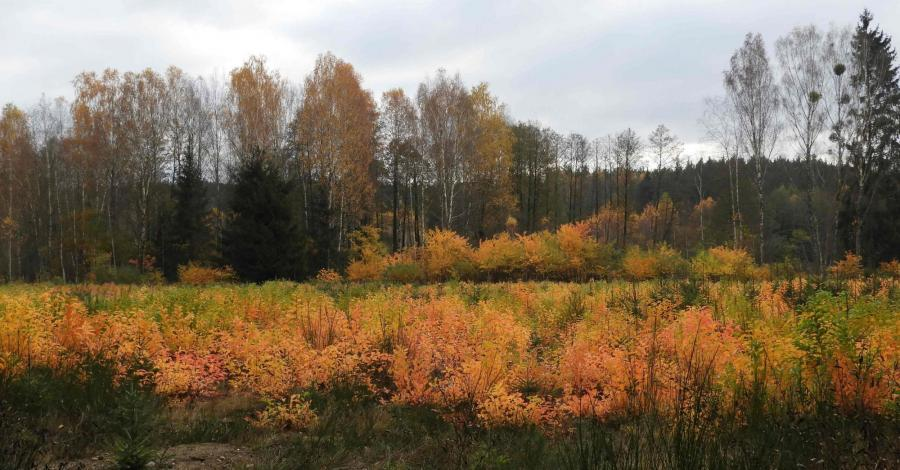 Kolory jesieni w Puszczy Knyszyńskiej - zdjęcie
