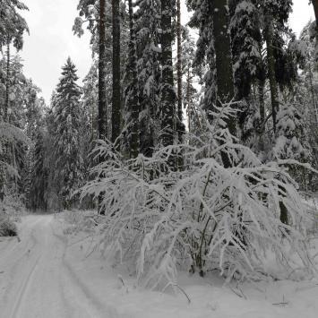 Puszcza Knyszyńska pod śniegową pierzynką - zdjęcie