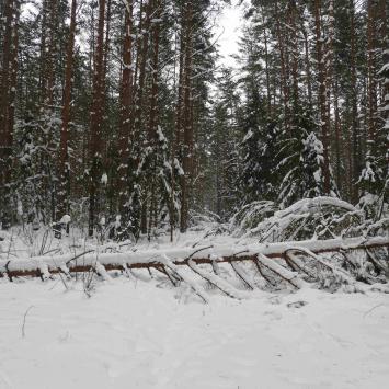Spacer przez zaśnieżoną puszczę w okolicach Supraśla. - zdjęcie