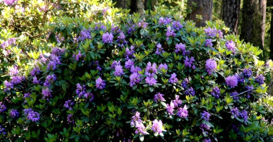 W królestwie rododendronów - Park Krajobrazowy Lasy nad Górną Liswartą - zdjęcie